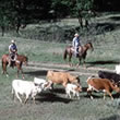 Hawaii Cattle Drives